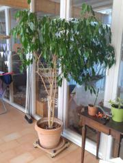 Zimmerpflanze (Ficus)