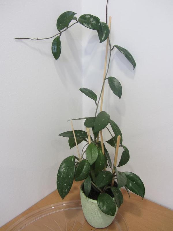 zimmerpflanze hoya carnosa honigblume wachsblume in m nchen pflanzen kaufen und verkaufen. Black Bedroom Furniture Sets. Home Design Ideas
