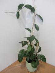 Zimmerpflanze Hoya carnosa Honigblume Wachsblume
