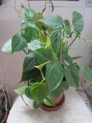 Zimmerpflanzen Efeu Farn Kletterphilodendron Efeutute