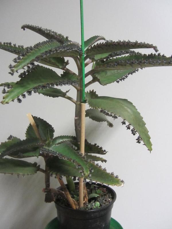 zimmerpflanzen sukkulenten aloe vera bleistiftbaum. Black Bedroom Furniture Sets. Home Design Ideas