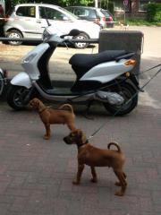 Zwei Irish Terrier