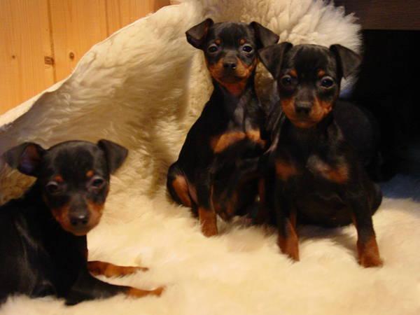 Zwergpinscher, lustige kleine » Hunde